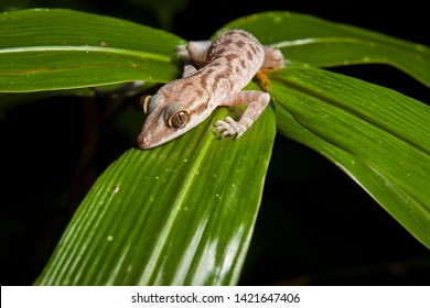Gecko on a leaf in rainforest at night