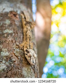 Gecko on a tree. Uroplatus phantasticus, the satanic leaf-tailed gecko endemic of Madagascar