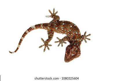 Gecko Red stripes on against white background