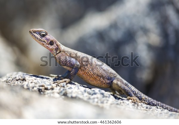 Gecko standing on a rock in Africa
