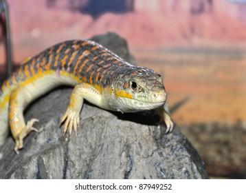 """Gecko """"Stsynk Schneider"""" (eumeces schneideri), close-up photo."""