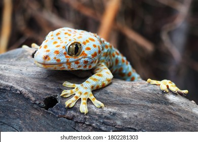 Geckos are unique among lizards in their vocalizations, making chirping sounds in social interactions with other geckos