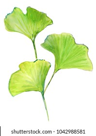 Geen leaf. Hand drawn sketch watercolour foliage painting ginkgo leaf on white background. concept illustration of Set organic medicine herb ginko leaves.