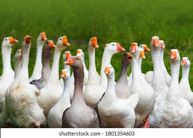 Geese attack. Flock of domestic geese on a green meadow. Summer green rural farm landscape. Goose in the grass, domestic bird