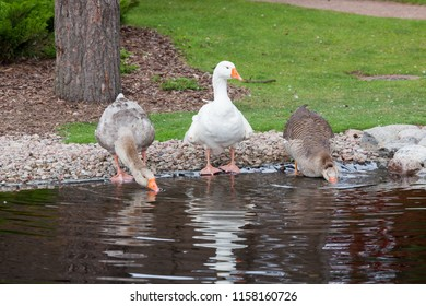 Geese drinking from pond