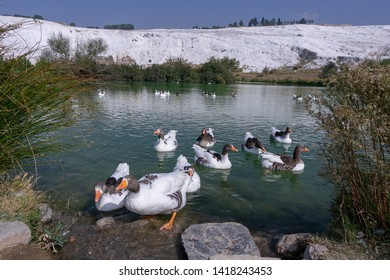 Geese and ducks on the lake, calcified limestone terraces on background, Pamukkale, Turkey, polarizing filter applied