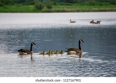 Geese Family with little babies are swimming in a pond. Taken in Willband Creek Park, Abbotsford, Greater Vancouver, BC, Canada.