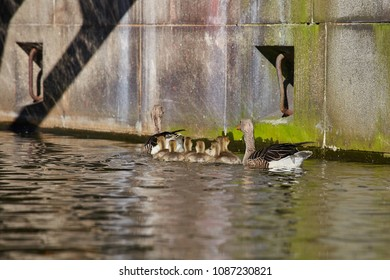 Geese family makes a trip on the Eilbekkanal in Hamburg