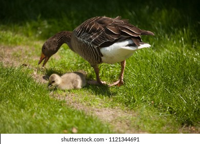 Geese family with small baby bird walking on the grass