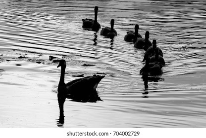 Geese family swimming on a pond. shadow black and white