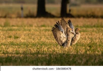 Geese field wild geese feathers wings plumage