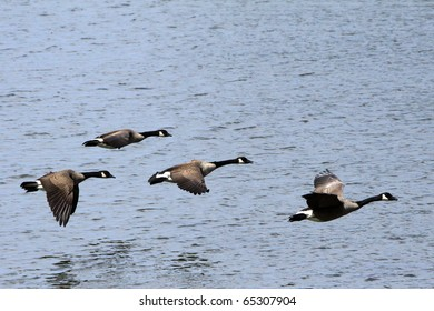 Geese in flight over Old Hickory Lake in Nashville Tennessee