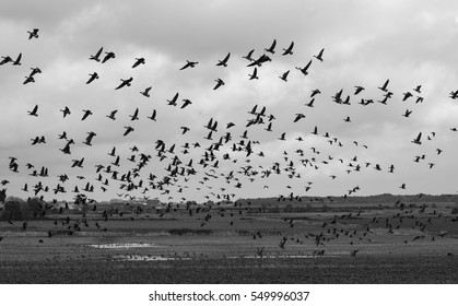 Geese flying, North Slobs, Ardcavan, Co. Wexford, Ireland