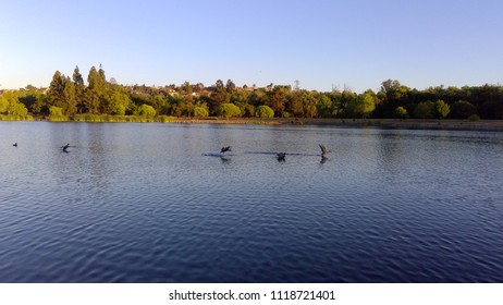 Geese flying on lake surface