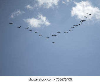 Geese flying in v formation on a beautiful sunny day.