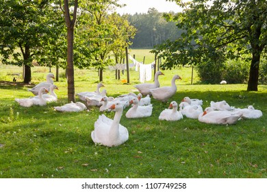 Geese in the garden of a farm, laundry on a clothes line in the background