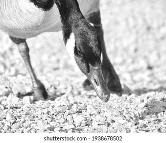 Geese Goose black and white Gooses Geeses Cool bird