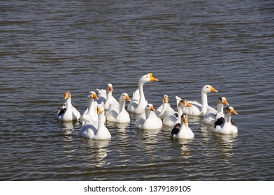 Geese Goose is a large waterbird with a long neck, short legs, webbed feet