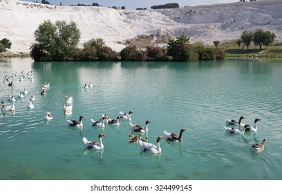 Geese with goslings on the lake, calcified limestone terraces on background, Pamukkale, Turkey