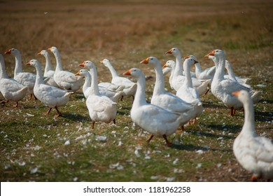 Geese in the grass. Domestic bird. A flock of geese walking in the field