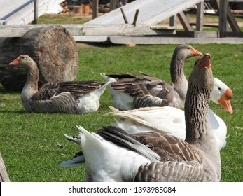 Geese in the grass. Domestic bird. Flock of geese. White geese.