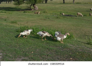Geese graze on grass in a village or on a ranch. Flock of domestic geese walks and grazes in the corral for the animals and birds Farm. aviculture. Ecotourism concept. Village, ranch, summer.
