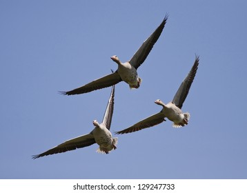 Geese group flying in the blue sky