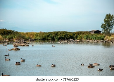 Geese in a lake at Migratory Bird Sanctuary