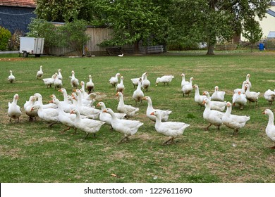 Geese in nature. Domestic geese graze in the meadow. Poultry walk on the grass. Domestic geese are walking on the grass. Rural bird grazes in the meadow.