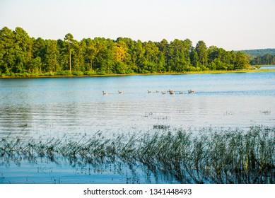 Geese on Degray Lake Arkansas
