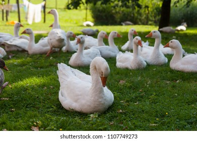 Geese on a farm, laundry on a clothes line in the background