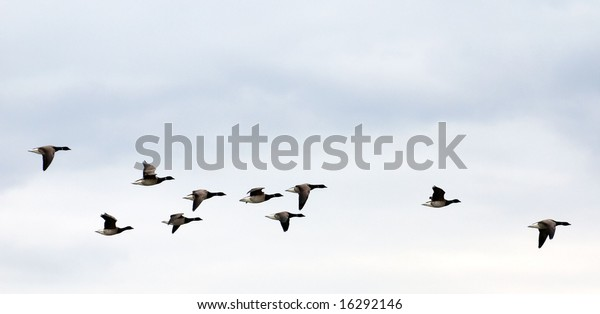 geese on grey-blue autumn sky going to fly away in warm edges