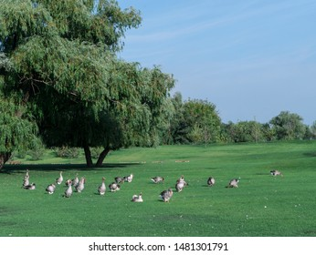 Geese on the lawn. A lot of geese on the green grass. Beautiful photos of geese
