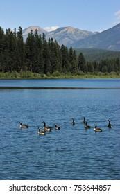 Geese on Rainy Lake, Seeley Lake, Montana