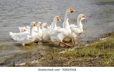 geese on a river