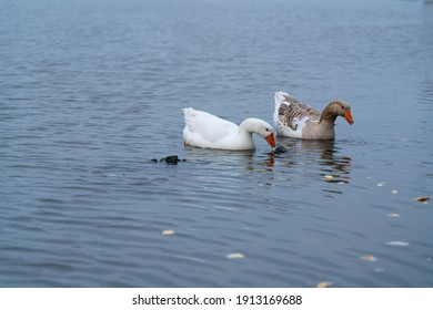 Geese on the river in summer