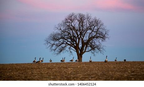 Geese ramble under the tree at duck