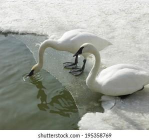 Geese in sea, Orangeville, Dufferin County, Ontario, Canada