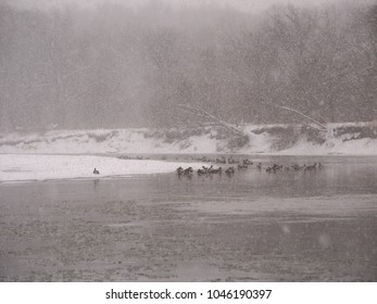 Geese sit along the Kishwaukee River during a winter snowstorm