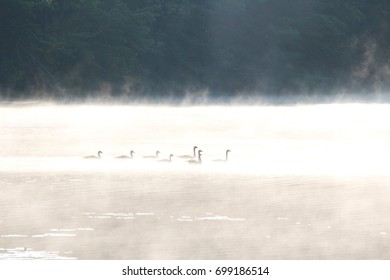 Geese swimming in a foggy river