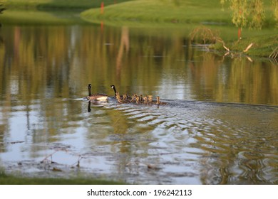 geese swimming with goslings