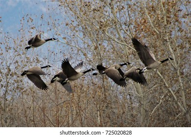 Geese Taking Off from Marsh