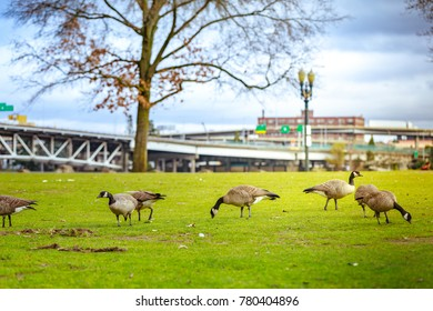 Geese at Tom McCall Waterfront Park in Portland, Oregon