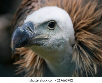 geese vulture