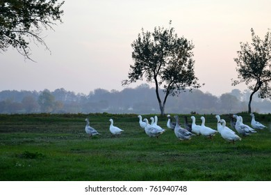 geese walk along the green grass at dawn in the village