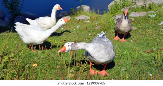 Geese are waterfowl belonging to the tribe Anserini of the family Anatidae. This tribe comprises the genera Anser (the grey geese), Branta (the black geese) and Chen (the white geese).