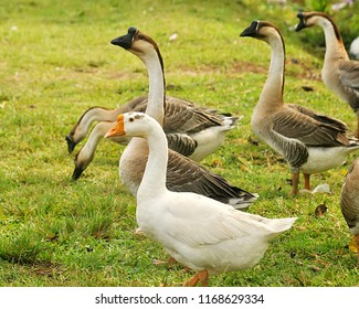 Geese are waterfowl of the family Anatidae