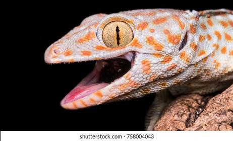 Gekko gecko, laughing gecko