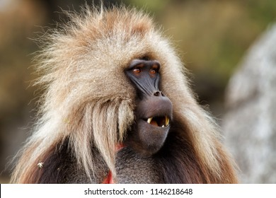 Gelada baboon male in the Simien Mountains National Park in Ethiopia