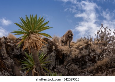 Gelada baboon on a outcropping in Simien mountains. Blue sky and palmtree.